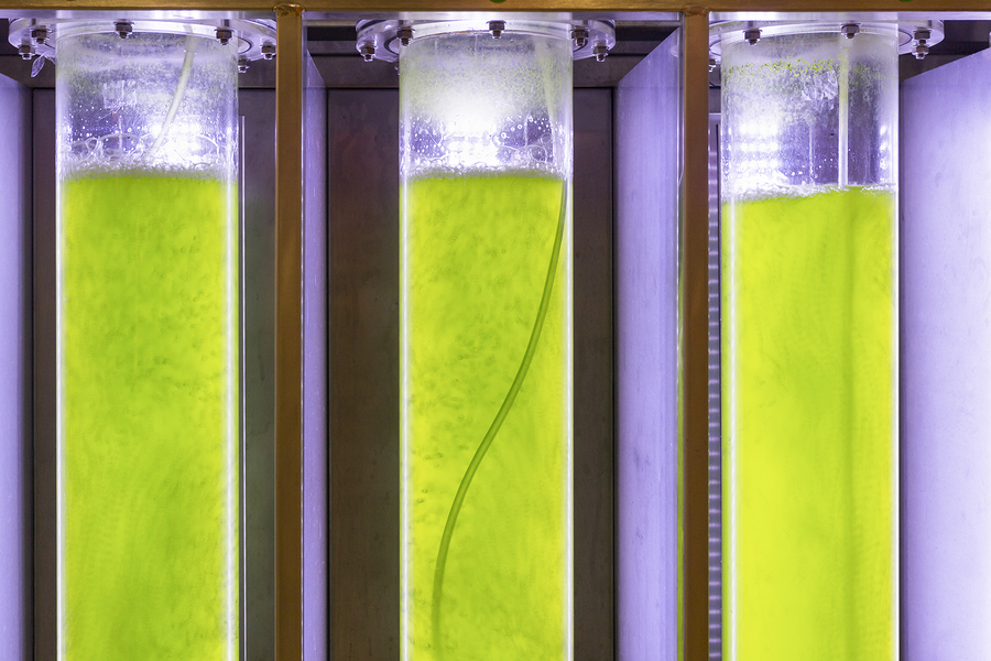 algae fuel biofuel